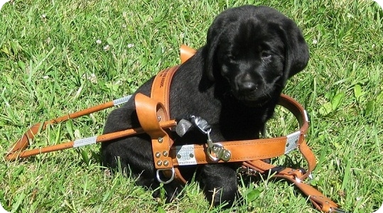 photo of black lab puppy in a harness