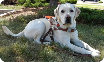 photo of Guide Dog Gordy in harness lying in the shade