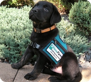 photo of puppy in training merit in vest