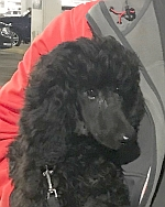 "Search Results for ""poodle"" – OccuPaws"